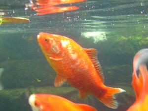 Faqs On Koi Pond Fish Breeding